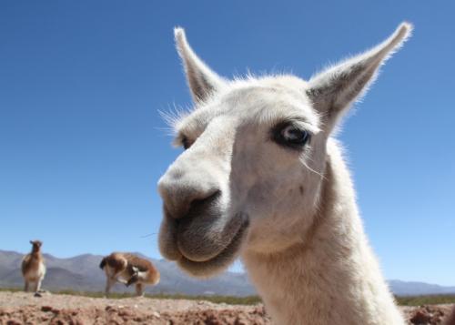 Salta -  Lama closeup