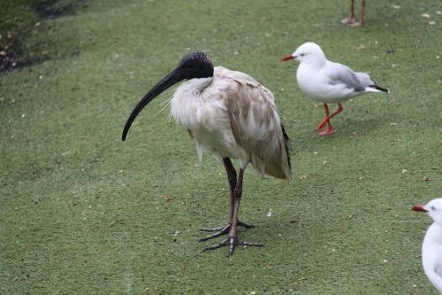 Sydney - vogels