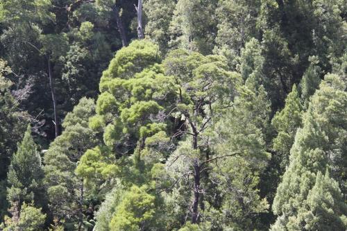 TAS - regenwoud