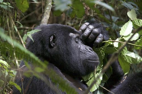 Thinking gorilla