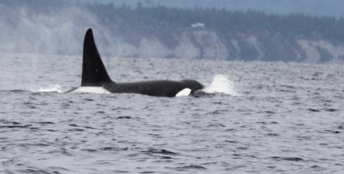 Vancouver Island - Orca male