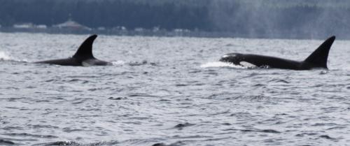 Vancouver Island - Orcas