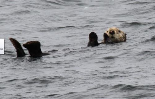 Vancouver Island - wuivende zeeotter