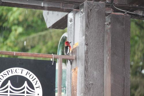 Vancouver - Woodpecker