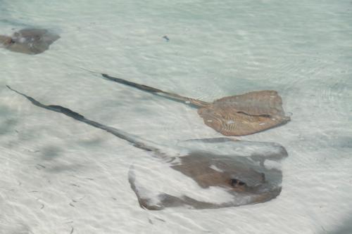 Whitsundays - roggen