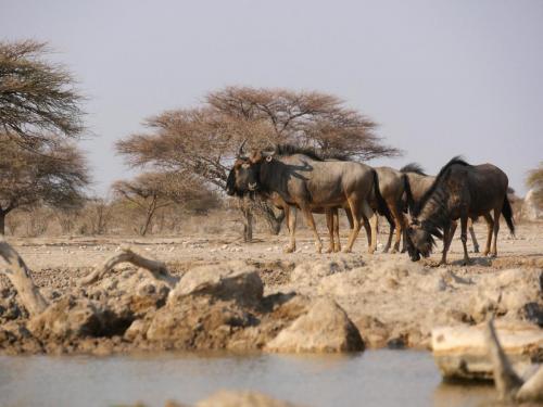 Wildebeest walk