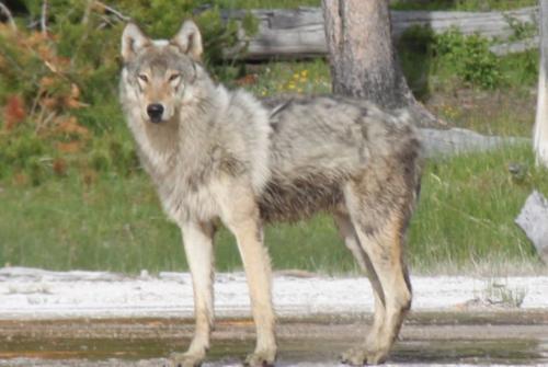 Yellowstone - wolven