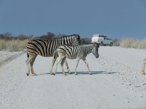 Zebras crossing road