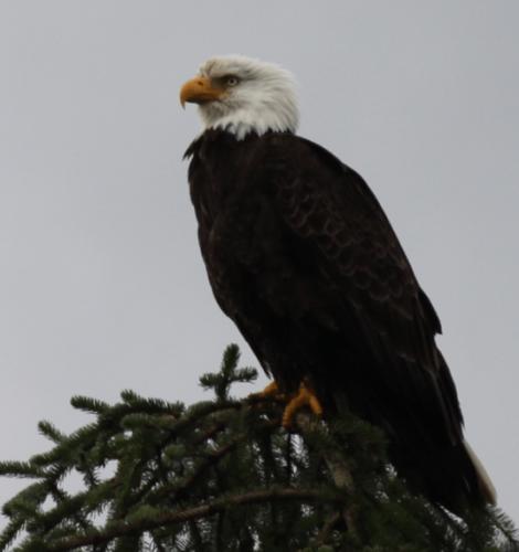 Alaskandream - bald eagle