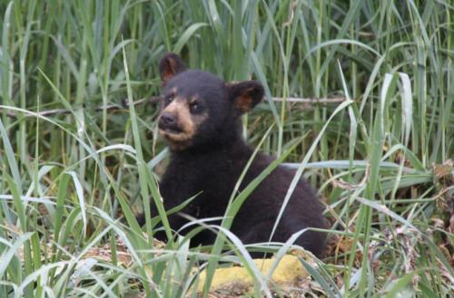 Alaskandream - bear cub