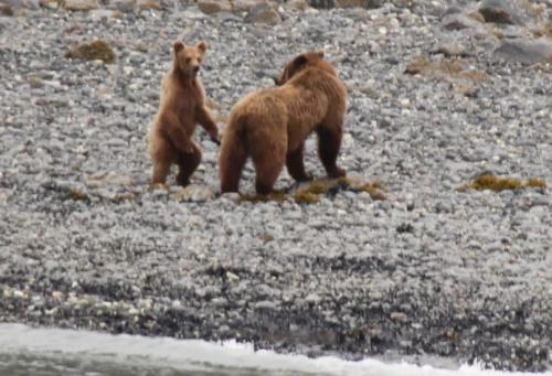 Alaskandream - pup grizzly rechtop