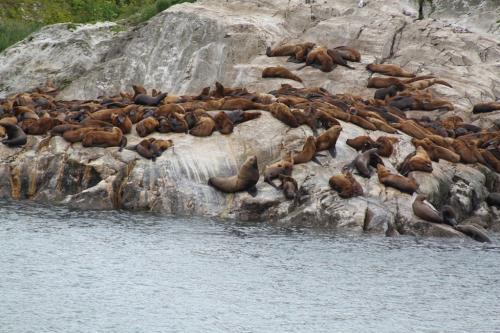 Alaskandream - sea lions groep