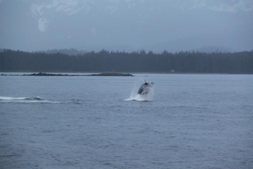 Alaskandream - whale jump
