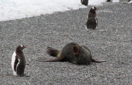 Antarctica - Confront Pinguin Zeehond