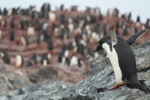 Antarctica - Flying Pinguin