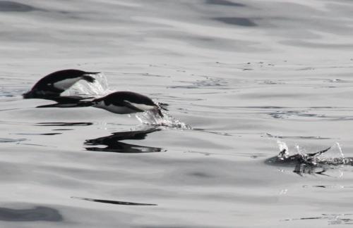 Antarctica - Jumping pinguins