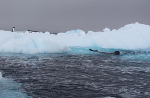 Antarctica - Prooi voor zeehond