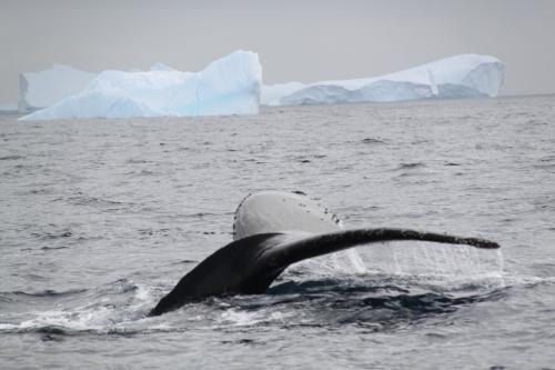 Antarctica - Walvis staart