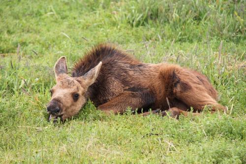 Arctic - baby moose
