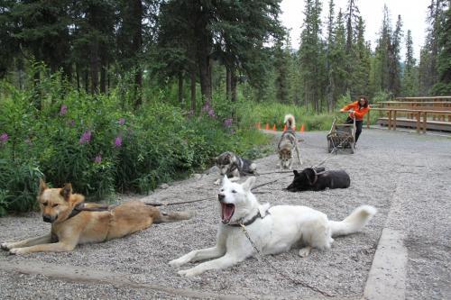Arctic - dog sledding