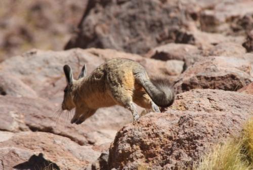 Atacama - Viscacha