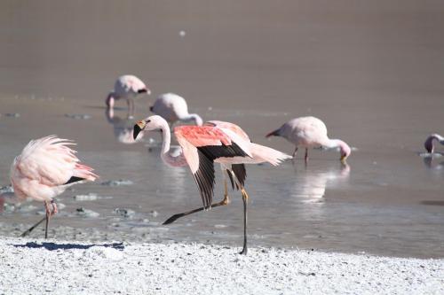 Bolivia - Flamingos (1)