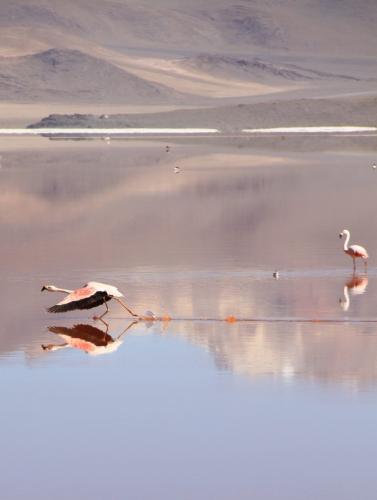 Bolivia - Flamingos (3)