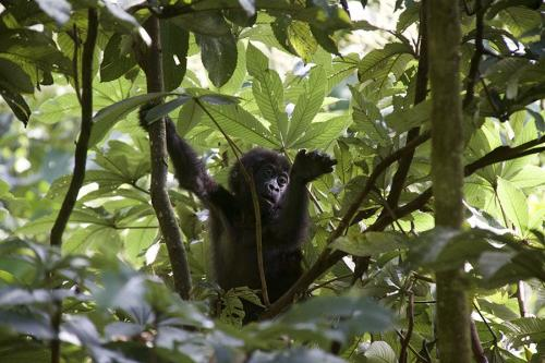 Boy gorilla