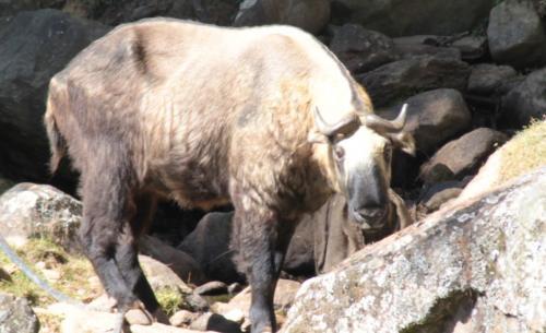Buthan - Rotsen met Takin