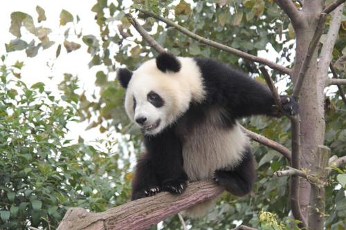 Chengdu - Branch & panda