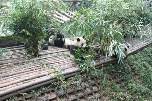 Chengdu - Grouppandas