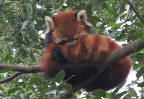 Chengdu - Rode Panda garfield