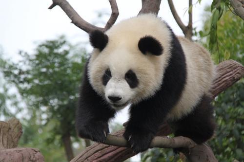 Chengdu - Tree and panda