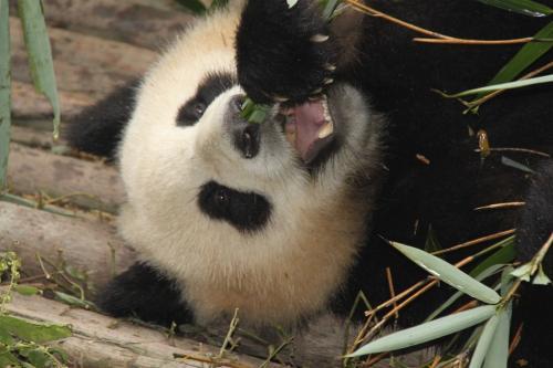 Chengdu - eating panda