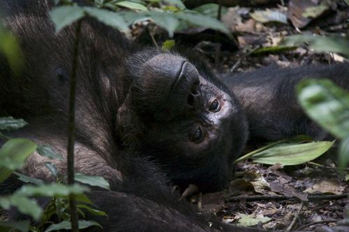 Chimp relax