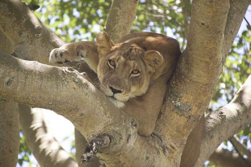 Closeup Tree climbing lion