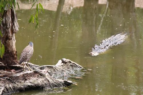Daintree - croc territoium