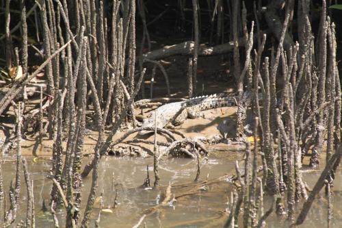 Daintree - mini croc