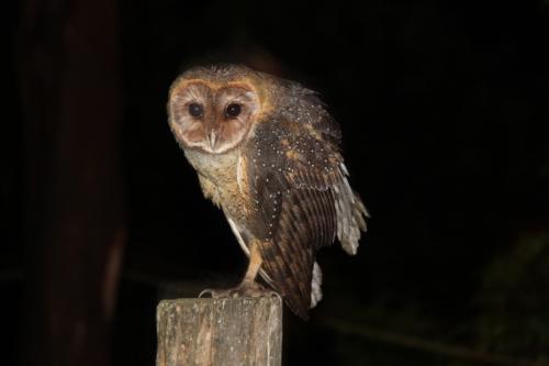 Ecuador - Owl