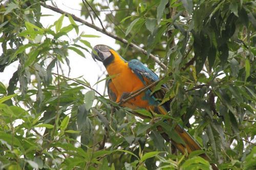 Ecuador - Papegaai