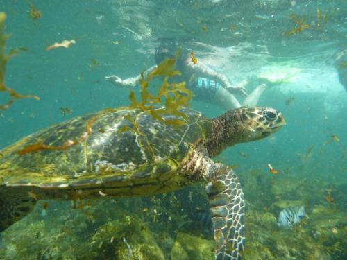 Fernando de Noronha - Hawkbill zeeschildpad Feature foto