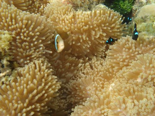Frans Polynesie - Nemo coraal
