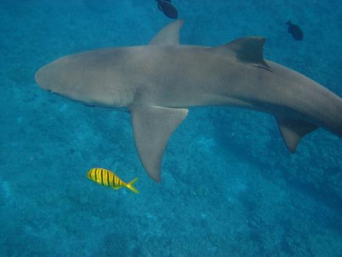 Frans Polynesie - Shark citron