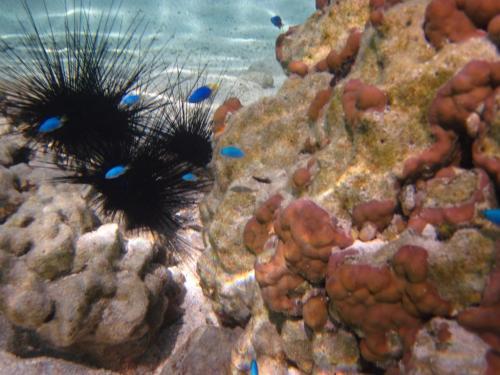 Frans Polynesie - zee egels