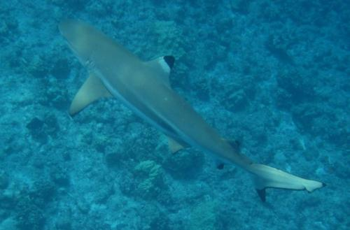 Frans Polynesie - zwartpunt shark