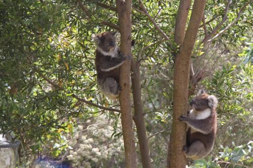 GOR - Koala group