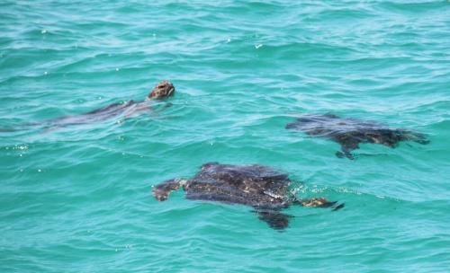 Galapagos - Groep zeeschildpadden