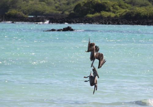 Galapagos - Halsbrekende toer Pelikaan
