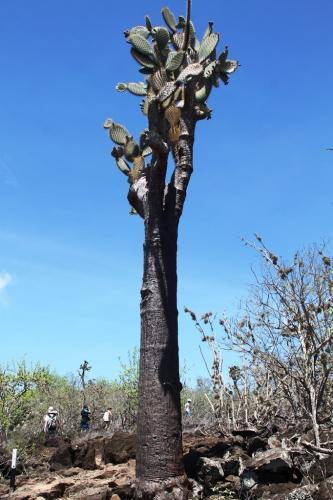 Galapagos - Opuntia cactus