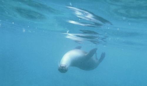 Galapagos - Spelende zeeleeuw